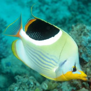 پروانه ماهی سادلبک