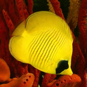 پروانه ماهی سمیلارواتوس