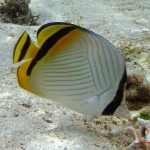 پروانه ماهی واگابوند