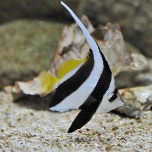 پروانه ماهی آنتن دار