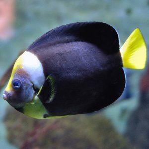 فرشته ماهی پرسونیفر