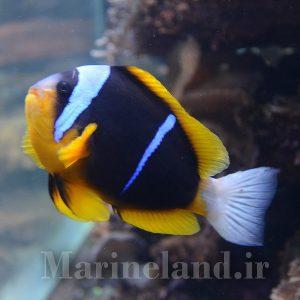 دلقک ماهی آلاردی