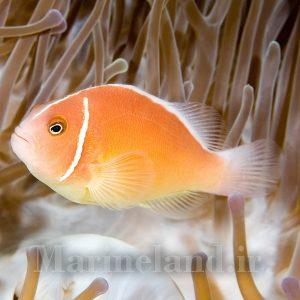 دلقک ماهی پینک اسکانک