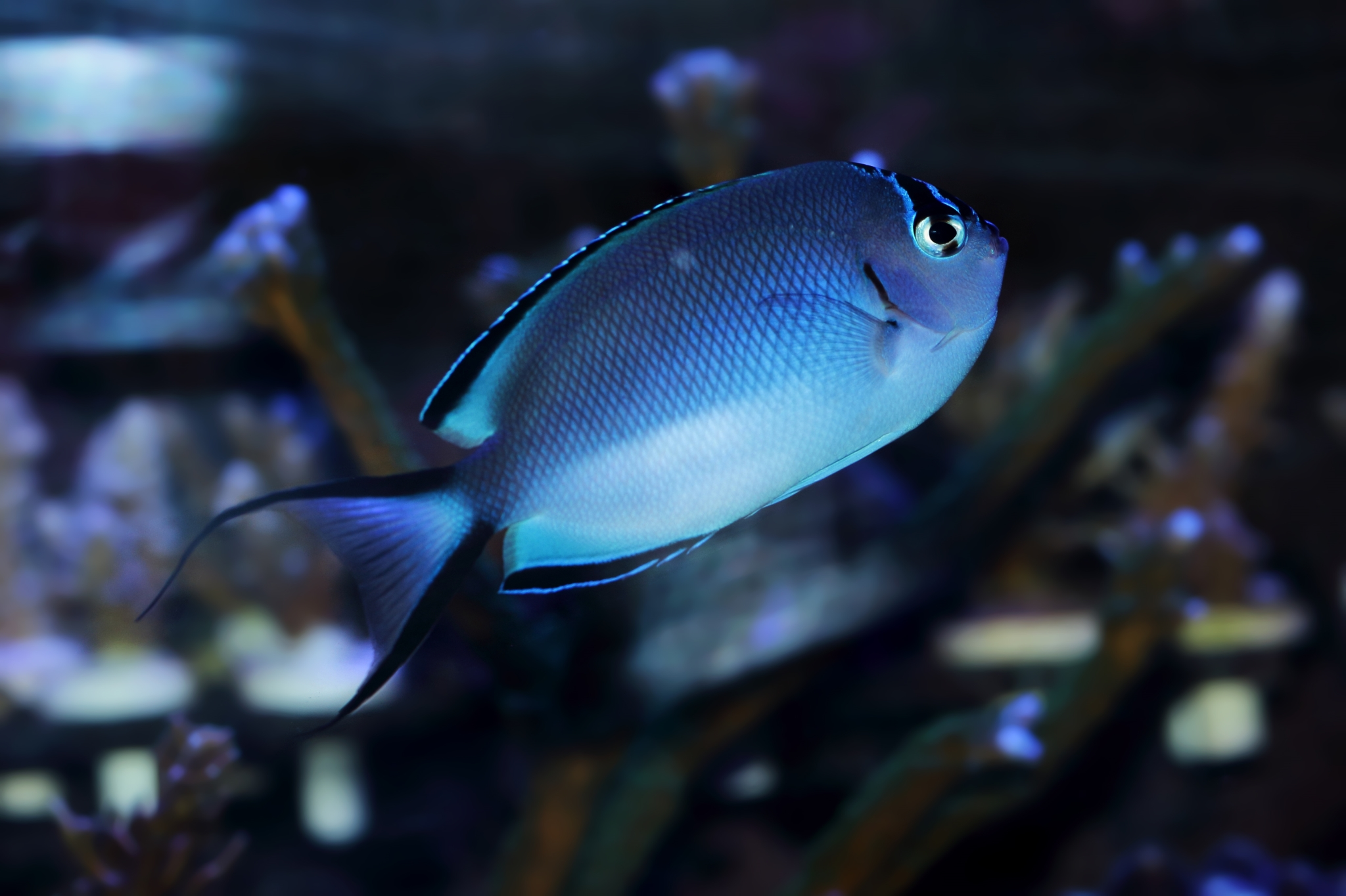 فرشته ماهی واتانابی ماده