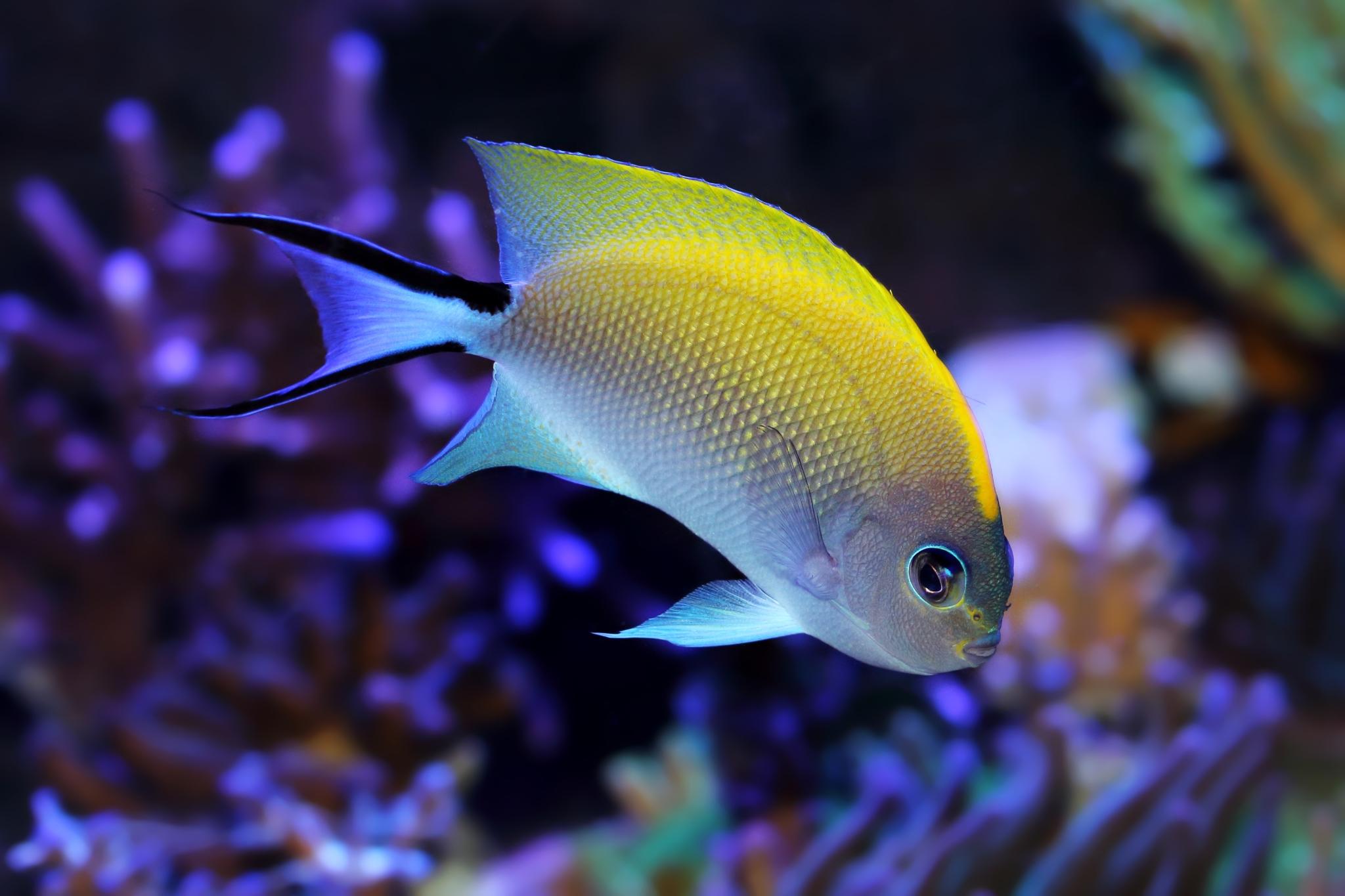 فرشته ماهی شکم خالدار ماده